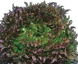 フリルレタス種子 横浜植木 ハンサムレッド1号 Lコート1000粒
