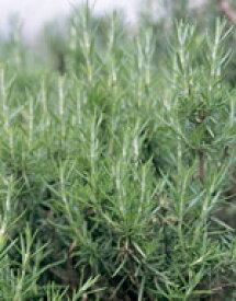 ハーブ 種 ハーブ種子 サカタのタネ ローズマリー 小袋