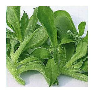 アイスプラント種子 武蔵野種苗園 野菜の種 食用アイスプラント プチサラ コート種子60粒