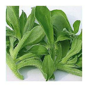 アイスプラント種子 武蔵野種苗園 食用アイスプラント プチサラ 1ml(裸種子)