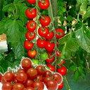 ミニトマト種子 みかど協和 ラブリーさくら 小袋
