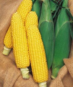 とうもろこし種子 タキイ種苗 野菜の種 ランチャー82 200粒