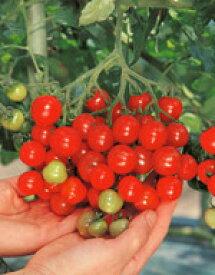 ミニトマト種子 サカタのタネ キャロル7 ペレット200粒