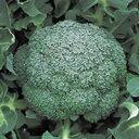 【ブロッコリー種子】晩緑(おくみどり)99W 20ml(野崎採種場)【野菜の種】