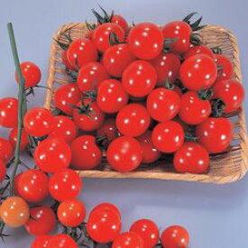 ミニトマト種子 トキタ種苗 サンチェリー250 小袋