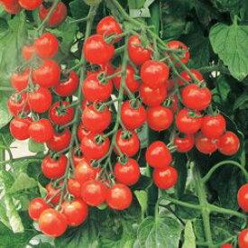 ミニトマト種子 トキタ種苗 サンチェリープレミアム 小袋(15粒)
