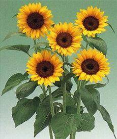 ひまわり種子 タキイ種苗 F1サンリッチマンゴー50 花の種 1000粒