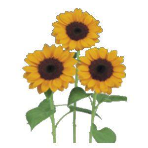 【ひまわり種子】 【サカタのタネ】 ビンセント1型 100粒 花の種 [花]