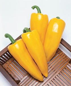 カラーピーマン種子 タキイ種苗 イエローホルン 小袋(30粒)