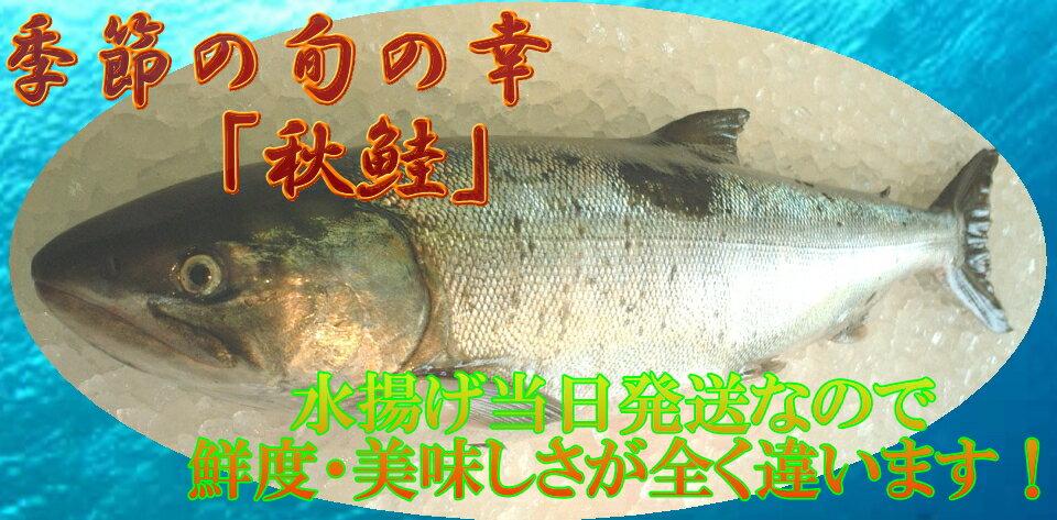 新物 生 「秋鮭」1本丸ごと 傷入有り品 大特価北海道産1027PUP10 【point_kita_0104】10P21Feb15