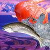 極上「紅鮭」丸ごと1本2.5kg!