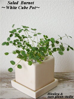 ☆ English Garden Variety ☆ ★ warehouse King direct! Fresh Herb ★ Salad Burnet/White cube Pot salad Barnett-white cube arrangement Interior foliage plants / gift / Memorial Day