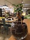 【送料無料】 ガジュマルの木 観葉植物 ガジュマル ハイドロカルチャー ガラス 精霊の宿る木 ラウンド グラス 高さ15cm程度 【ハイドロ…