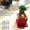 初夏から育てる、インテリア。 ガジュマル と暮らす 観葉植物 鉢植え 高さ15cm程度 精霊の宿る木 赤 キューブ モダン 陶器【ガジュマル…