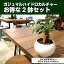 【送料無料】 ガジュマルの木 観葉植物 ガジュマル ハイドロカルチャー 2セット 幸福をもたらす精霊が住む木 観葉植物 ミニ 白 丸型 陶…