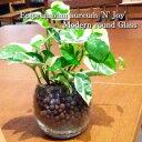 【送料無料】 ポトス エンジョイ 観葉植物 ハイドロカルチャー 高さ15cm程度 丸 ラウンド グラス ガラス【 受賞 陶器 誕生日 風水 ユー…