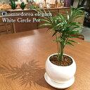 【送料無料】 テーブルヤシ 鉢植え 高さ15cm程度 観葉植物 ホワイト ラウンド 受け皿付き【土植え ヤシの木 陶器 デスク 誕生日 風水 …