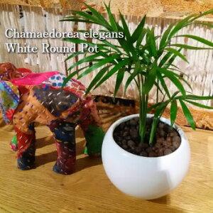 【送料無料】 観葉植物 テーブルヤシ ハイドロカルチャー 観葉植物 ホワイト ラウンド 高さ15cm程度 【ハイドロ ヤシの木 陶器 デスク 誕生日 風水 ギフト ユーロプランツ お祝い おしゃれ 日