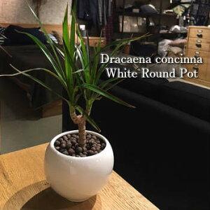 【送料無料】 観葉植物 ドラセナ コンシンネ 観葉植物 誕生日 プレゼント 高さ20cm程度 ハイドロカルチャー ホワイト ラウンド ハイドロ 白 丸 陶器 マジナータ 真実の木 誕生日 ギフト お祝
