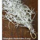 【送料無料】 秋から 自分で育てる インテリア 太葉 ウスネオイデス レギュラー サイズ 40cm 良質な1束をあなたに 【エアープランツ 吊…