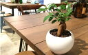 【送料無料】 ガジュマルの木 観葉植物 ガジュマル ハイドロカルチャー 幸福をもたらす精霊が住む木 観葉植物 ミニ 白 丸型 陶器鉢 結…