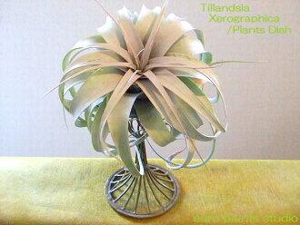 @ エアープランツ/キセログラフィカ/PlantsDish (Antique Brown)