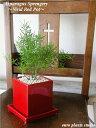 【送料無料】 アスパラガス スプレンゲリー 観葉植物 鉢植え 陶器鉢 レッド スクエア 高さ20cm程度 受け皿付き【土植え 赤 角 陶器 デ…