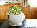 オリヅルラン ボニー観葉植物 ホワイト エッグ ポット観葉 ミニ観葉 鉢植え 陶器 ラン 室内【お洒落 父の日 ギフト 記念日 誕生日 お祝…
