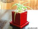 【送料無料】 オリヅルラン ボニー観葉植物 ヴィヴィッド レッド スクエア ポット観葉 ミニ観葉 鉢植え 陶器ギフト 記念日 誕生日 お祝…