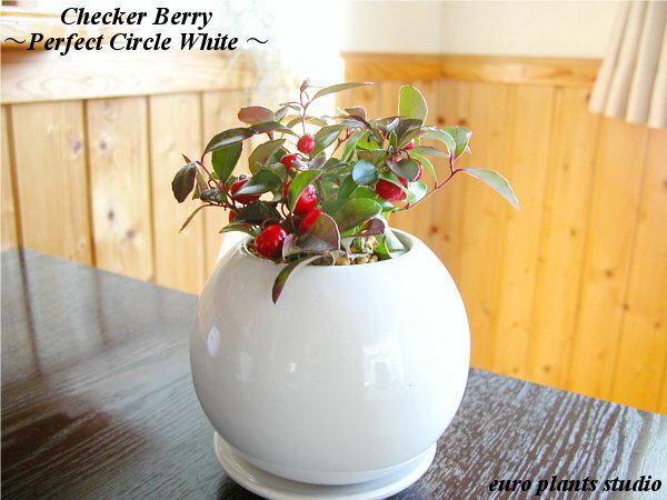 【送料無料】チェッカーベリー 赤実付き 高さ15cm程度 白 丸 陶器 受け皿付きクリスマス お正月 ギフト 縁起物 インテリア 観葉植物 デスク 誕生日 和風 風水 ギフト ユーロプランツ スタジオ お祝い 赤い実 おしゃれ