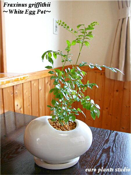 【送料無料】シマトネリコ 鉢植え 観葉植物 インテリア ホワイト エッグ ポット
