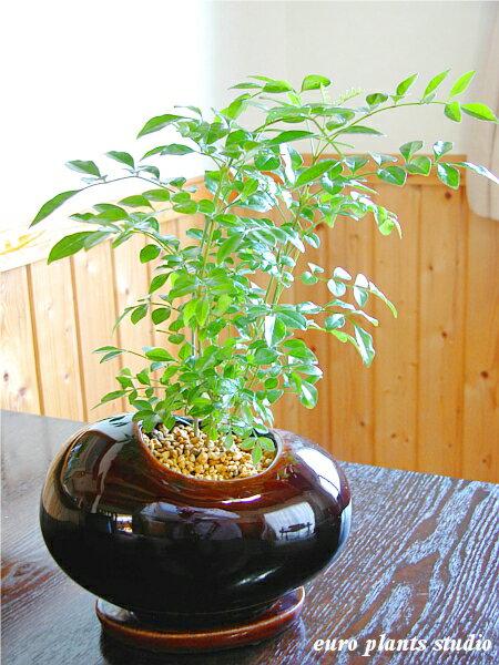 【送料無料】シマトネリコ 鉢植え 観葉植物 インテリア 室内 ブラウンエッグポットギフト 記念日 誕生日