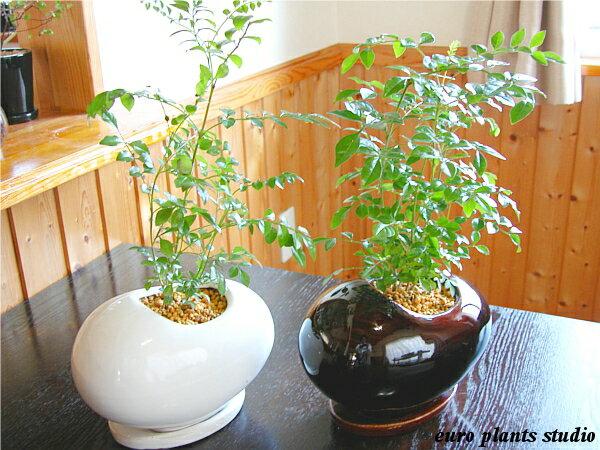 【送料無料】シマトネリコ鉢植え 観葉植物 インテリア 室内 エッグポット 2セットギフト 記念日 誕生日