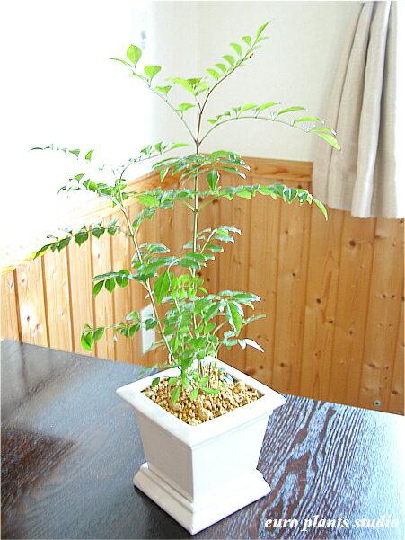 【送料無料】シマトネリコ鉢植え 観葉植物 インテリア 室内 ホワイトスクエアポットギフト 記念日 誕生日