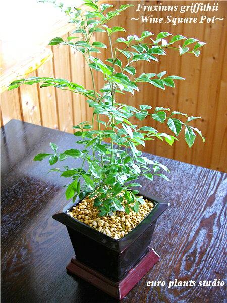 【送料無料】シマトネリコ 鉢植え 観葉植物 インテリア 室内 ワインスクエアポットギフト 記念日 誕生日