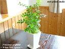 【送料無料】シマトネリコ観葉植物 鉢植え インテリア 室内 ホワイト トール ポット 観葉 ミニ観葉 ミニ 観葉【お洒落 父の日 ギフト …