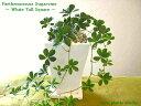 【送料無料】 観葉植物 シュガーバイン 鉢植え 観葉植物 高さ20cm程度 ホワイト トール スクエア 白 鉢植え 陶器 【シュガーパイン つ…