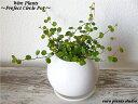 【送料無料】 観葉植物 ワイヤープランツ 観葉植物 誕生日鉢植え 陶器鉢 ホワイト サークル 高さ15cm程度 受け皿付き 土植え 白 丸 陶…