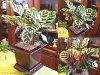 迷人的植物和伽 makoyana 'makoyana' 罗曼酒方锅室内植物盆栽 / 直接 / 阵亡将士纪念日 / 生日礼物