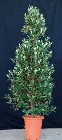 フェイジョア(ロウソク型) 香り 食用可 果実 植木 庭木 苗木 常緑低木