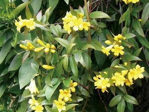 緑のカーテン ツル性植物 カロライナジャスミン(大株) 黄色花 香りよし 常緑つる性低木 観葉植物