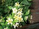 緑のカーテン ツル性植物 テイカカズラ(定家葛) (大株) 香りよし つる性常緑低木