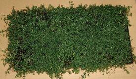 タイム(マット) 緑の絨毯 ハーブ 植木 庭木 苗木 多年生