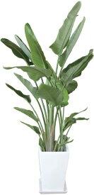 オーガスタ 観葉植物 陶器鉢 プランター・皿付き 1.7×1.0(10号) 日なた 常緑多年草