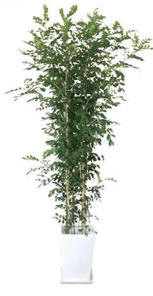 ゲッキツ(月橘 シルクジャスミン) 観葉植物 陶器鉢 プランター・皿付き 1.7×0.7(10号) 日なた 常緑小高木