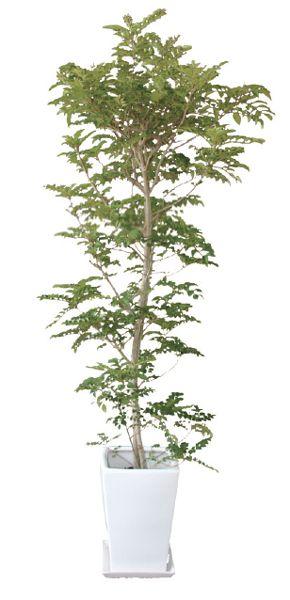 シマトネリコ 観葉植物 陶器鉢 プランター・皿付き 1.2×0.5(8号) 日なた 半落葉高木