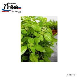 【送料無料】ヘアリー・バジル種(メンラック・バジル、カノムチーンに・タイ野菜・タイハーブ) 約50粒