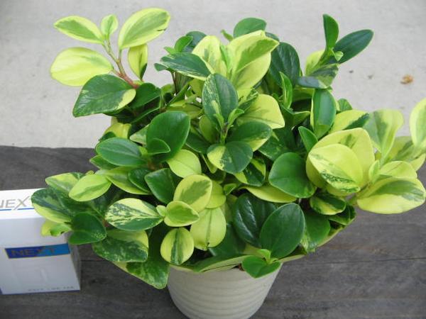 黄色と緑 ペペロミア グラベラ 観葉植物