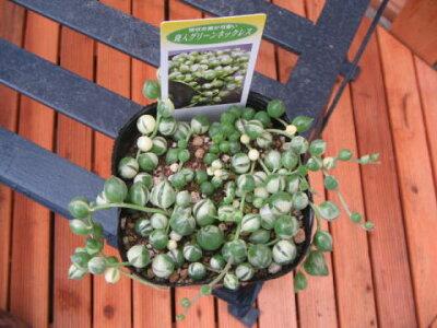 限定レア品種♪斑入りグリーンネックレス観葉植物多肉植物販売通販種類