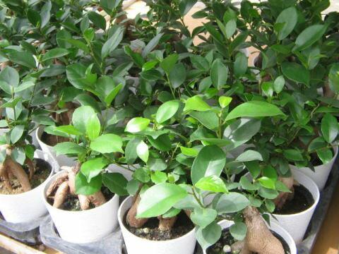 ミニニンジンガジュマル 3号 鉢植え 観葉植物 ニンジンに似た株元が面白く丈夫で育てやすい ガジュマル 観葉植物 販売 通販 種類